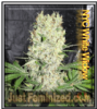 NYC White Widow Just Female Mix & Match Seeds